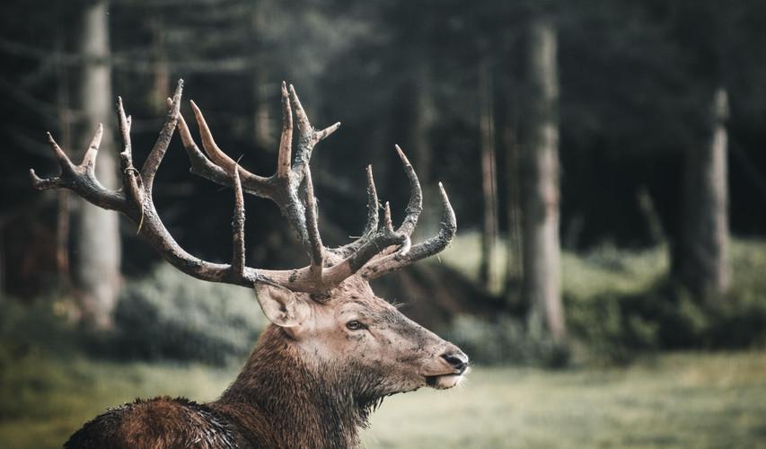 Western United States Elk