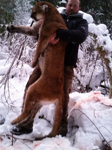 Large Cougar Kill