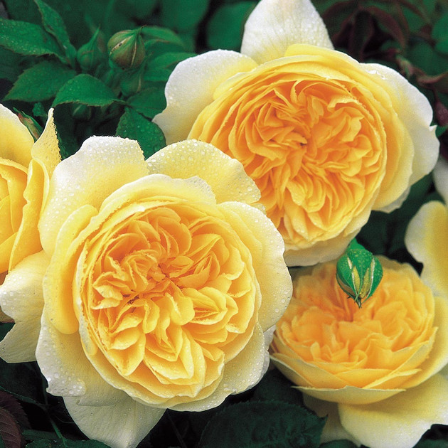 Rich yellow, rosette-shaped blooms. Lovely, strong tea fragrance. Very reliable, extremely healthy and easy to grow. Repeat flowers well.