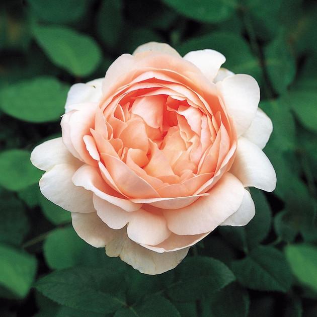 Ambridge Rose by David Austin