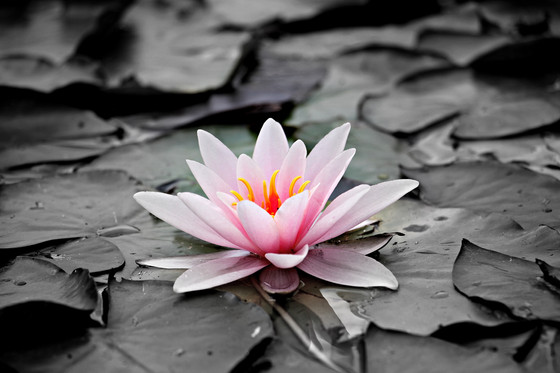 Why the Lotus Flower?