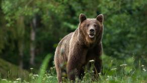 Upozornenie na zvýšený výskyt medveďa hnedého v našej obci