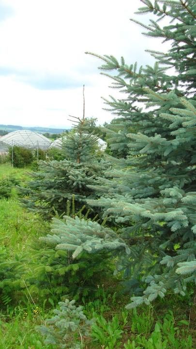 Christbaumkultur im Sommer