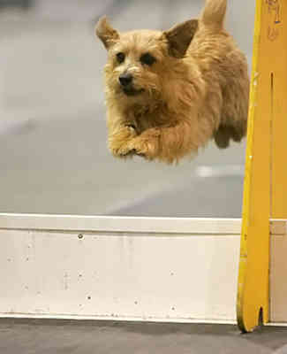 Flyball Jumps.jpg