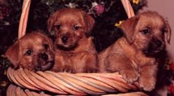 Pucchi Pups
