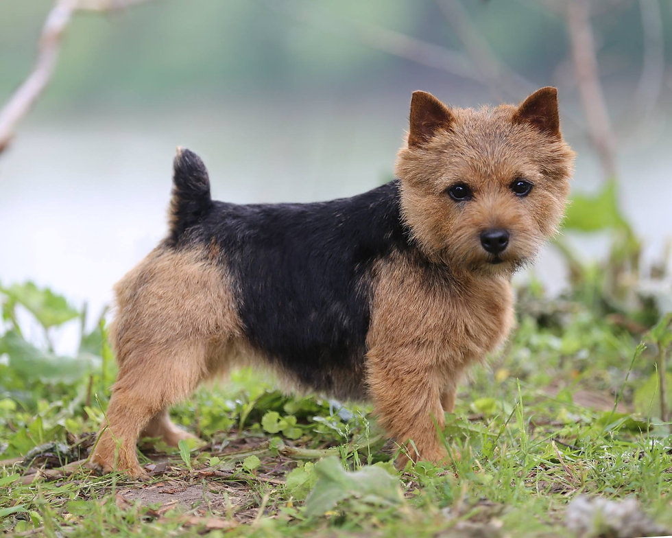 Dralion Norfolk and Norwich Terrier (image)