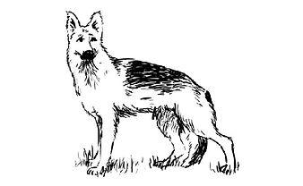 German Shephed drawing