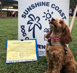 Cavoodle graduating puppy school