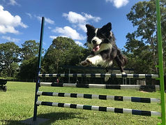 Border Collie jumps over agility course