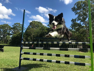 Black and white Border Collie flies over an agility jump!