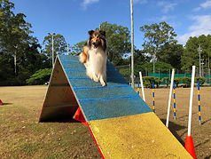 Rough Collie Freya on agility pyramid