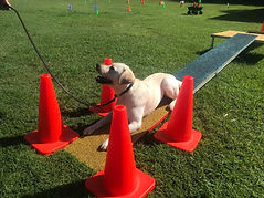 Yellow Labrador on agility course