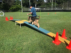 Airedale Terrier on agility course