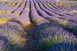 Admirez les champs de lavande