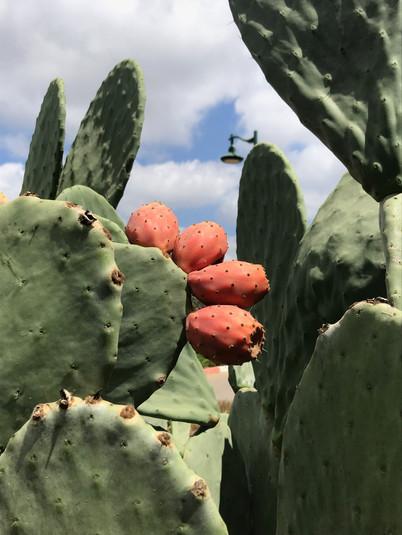 sabra fruit ISRAEL