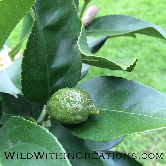 Lemon Tree Love - Earth Connection - Lauralee - Thomson - Women - Rituals - Melbourne