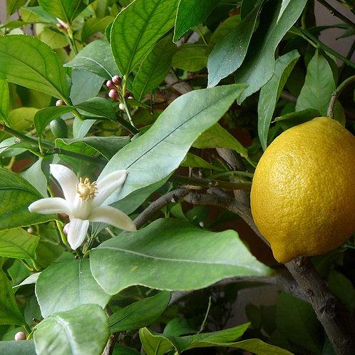 Lemon Roll-On