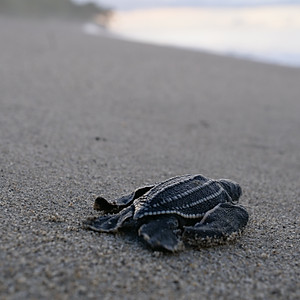 Journey of the hatchlings