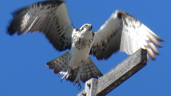 Osprey_bird,_Gold_Coast_©_Copyright_2018