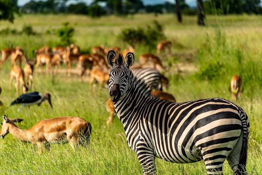 Safari_Kizito-Tours_Mikumi_Tanzania-57.j