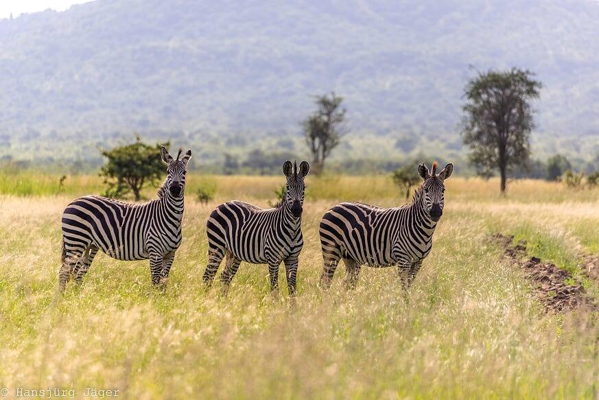 Safari_Kizito-Tours_Mikumi_Tanzania-63.j