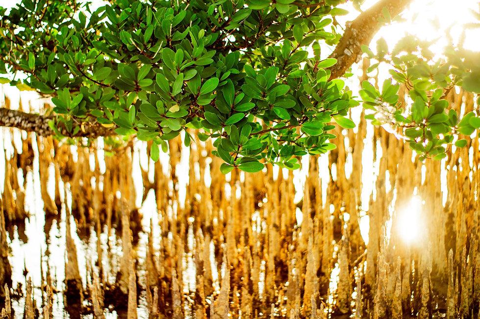 Mangrove, Dar Es Salaam, Tanzania