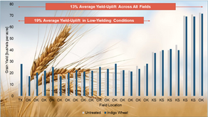 Indigo Wheat™ Demonstrates Continuous Improvement with Significant Yield Gains in Second Commercial