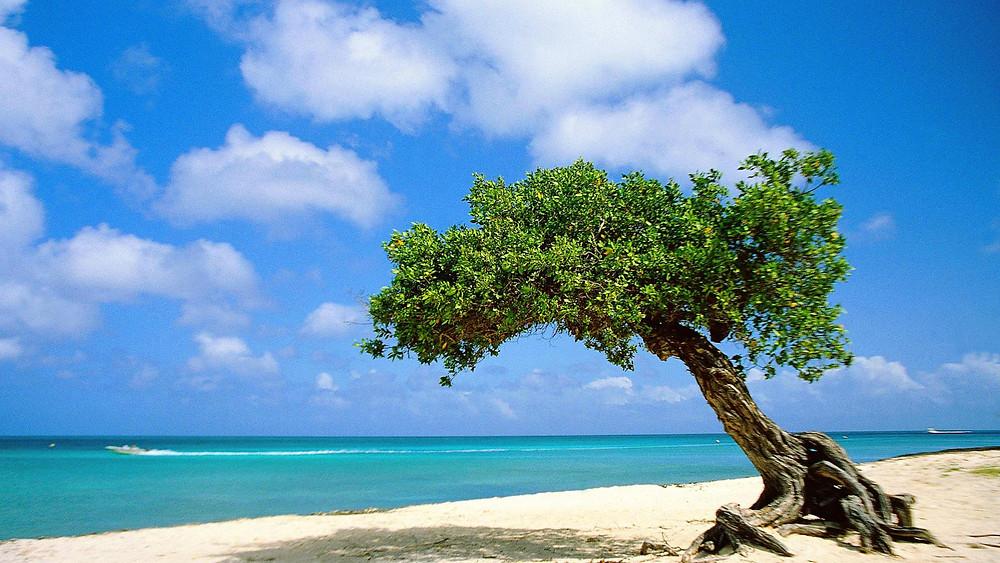 divi-tree-aruba.jpg