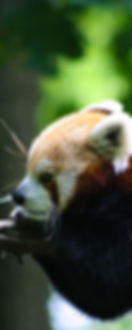 Red Panda, wildlife, michigan photography, binder park zoo, conservation, panda