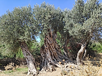 November 26th World Olive Day – A tribute to the Sacred Tree