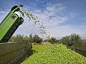 Olive Oil Production & Quality Management