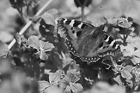small-tortoiseshell-5175060_1920_edited.