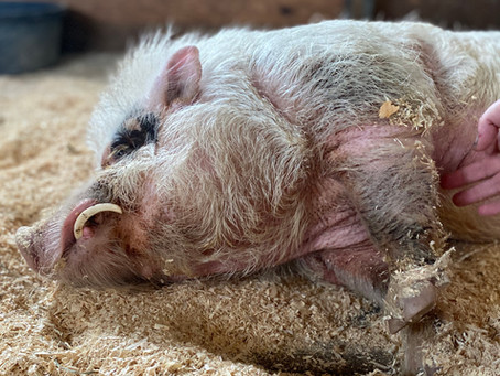 Pig-Pocalypse 2020