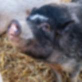030920_Pigs_08w.jpg