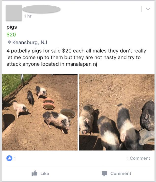 The original Facebook posting of the pigs.
