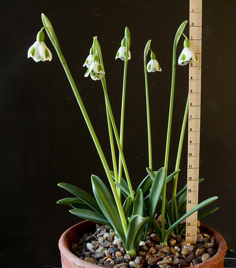 Galanthus Dryad Venus rule.jpg