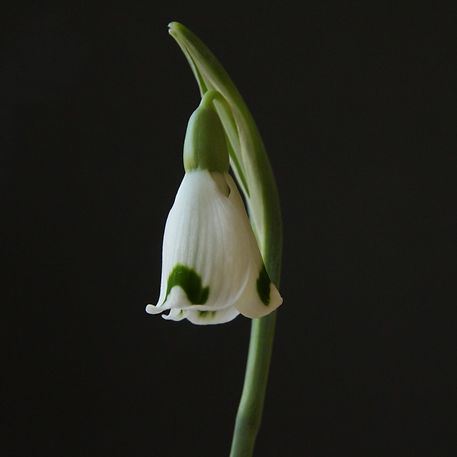 Galanthus Dryad Artemis-2.jpg