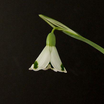 Galanthus Dryad Artemis-3.jpg