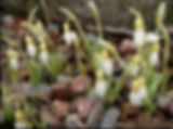 Galanthus 189 Estonian Spirit group Kull