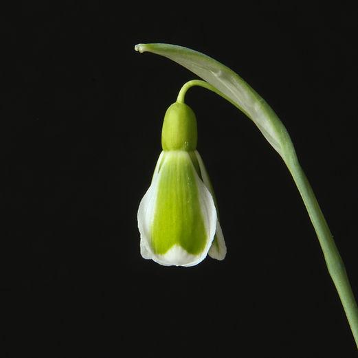 Galanthus Dryad Demeter flower.jpg