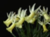 Narcissus Sleek multi-2.jpg