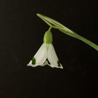 Dryad Artemis close-2.jpg