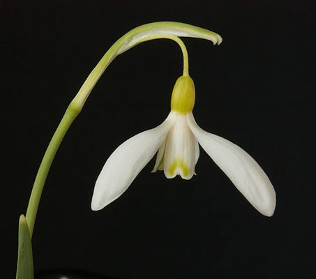 Galanthus_190_Estonian_Spirit_group_Käin