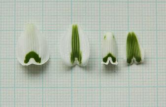 Galanthus Dryad Artemis segments-2.jpg