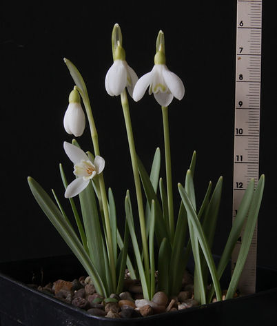 Galanthus Estonian Spirit Group  Kudrus