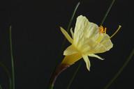 bulbocodium paucinervis close.jpg