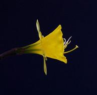 bulbocodium nivalis (Braganca) 2012 side
