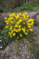 bulbocodium clump garden.jpg