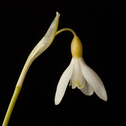 Galanthus 189 Estonian Spirit group Kull