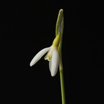 Galanthus 193 Estonian Spirit Group gard
